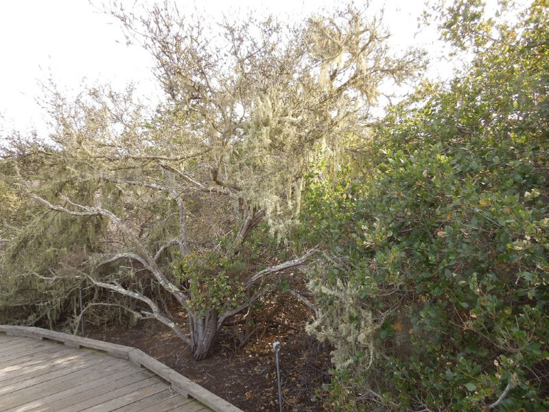 The Elfin Forest in Los Osos, California: A Review in Photos: Pigmy Oak and Spanish Moss