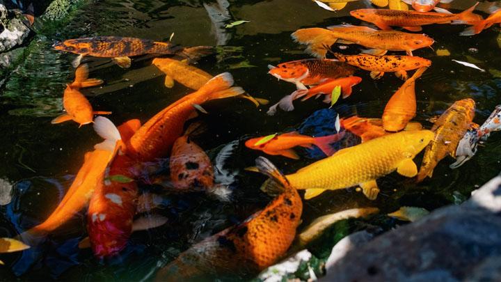 goldfish-plant-care