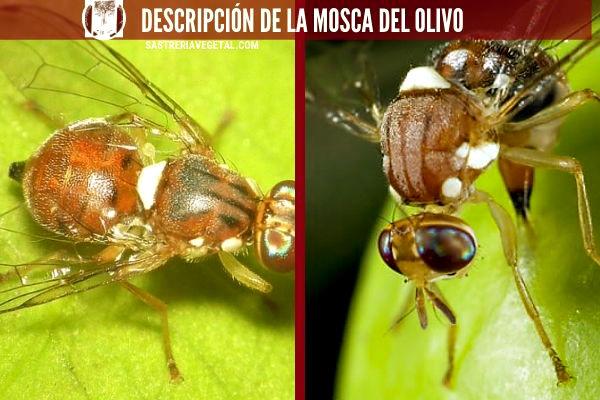 La mosca de Olivo es parecida a la mosca doméstica aunque algo más pequeña. Su cabeza es ancha de color rojizo.
