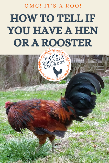 Are you wondering if you have a rooster in your flock? If so, you're not alone. Here's a guide to help you tell.