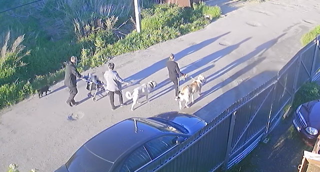 В Сыктывкаре местные живодеры натравили двух алабаев на маленькую дворнягу и смотрели, как их псы грызут жертву