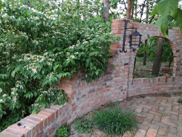 suchodrzew Maacka, cegła rozbiórkowa w ogrodzie