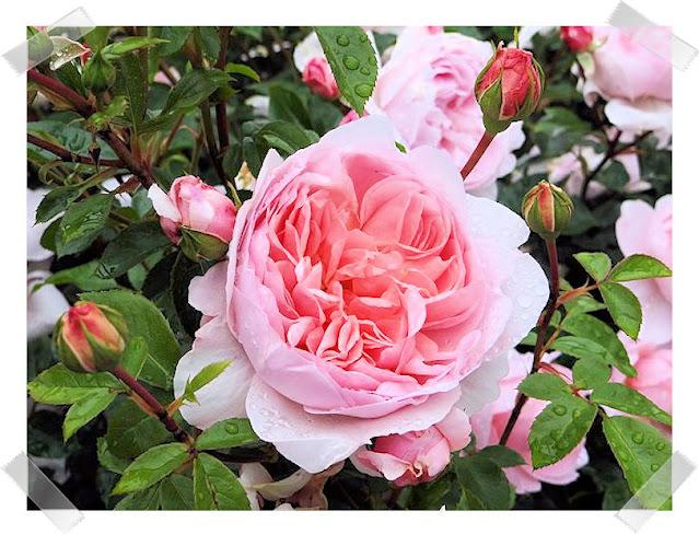 Rose 'Wild Eve'