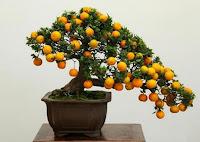 bonsai tree fruits edible. apple bonsai fruit tree, how to grow bonsai fruit trees, bonsai fruit tree seeds, bonsai fruit trees for sale in india, bonsai fruit trees in india, bonsai fruit tree price, bonsai fruit tree crossword