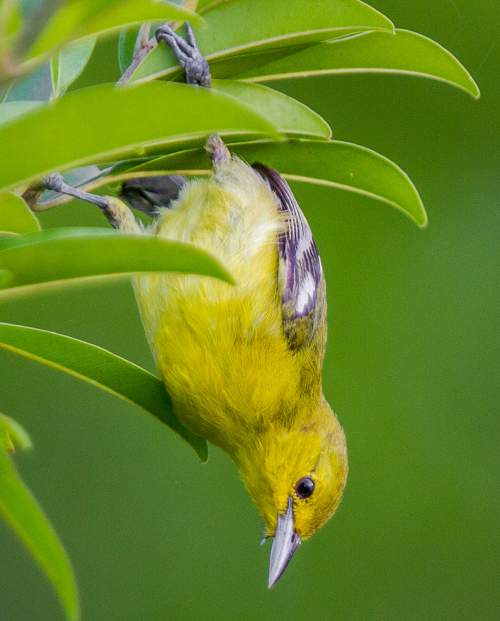 Birds of India - Photo of Common iora - Aegithina tiphia