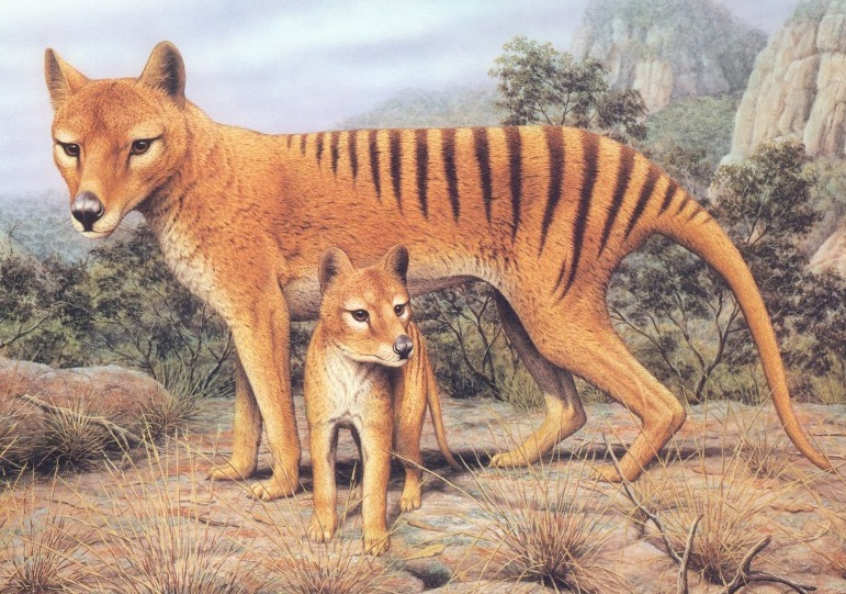 Tazmanian Tiger