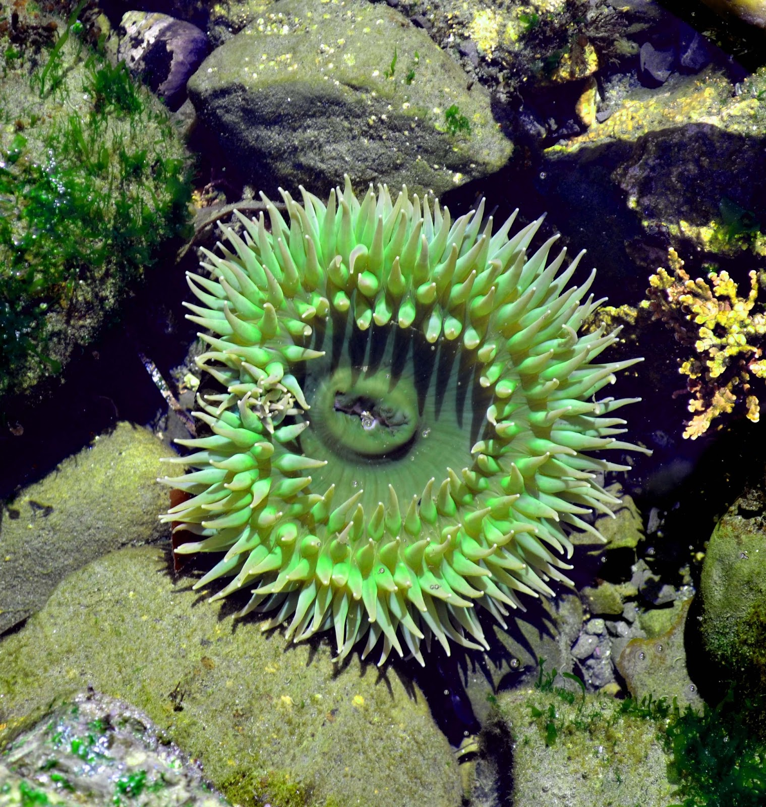 Giant green sea anemone - Anthopleura xanthogrammica ...