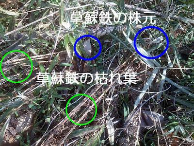 クサソテツの倒れた枯れ葉