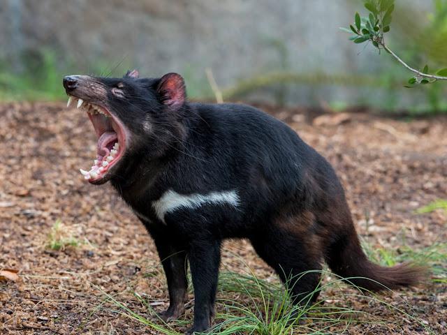Diavoletto della Tasmania