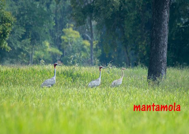 sarus crane (Antigone antigone)