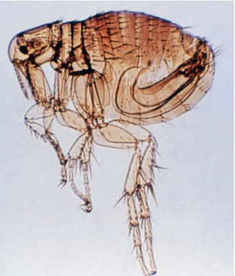 Rodent fleas carry zoonotic infections such as plague and murine typhus.
