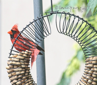"The focus of this photo is a male cardinal who is perched on the top left of a bird feeder which is made of coils and shaped like a wreath and has the function of ""holding"" peanuts within a shell. He appears to be  attempting to survey the area around the feeder before indulging in peanuts within the feeder. This ""scene"" occurred in my garden, which is the setting for my book series, ""Words In Our Beak."" Info re these books is included in another post within this blog @ https://www.thelastleafgardener.com/2018/10/one-sheet-book-series-info.html"