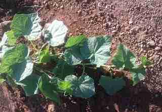Πώς καλλιεργώ αγγούρια