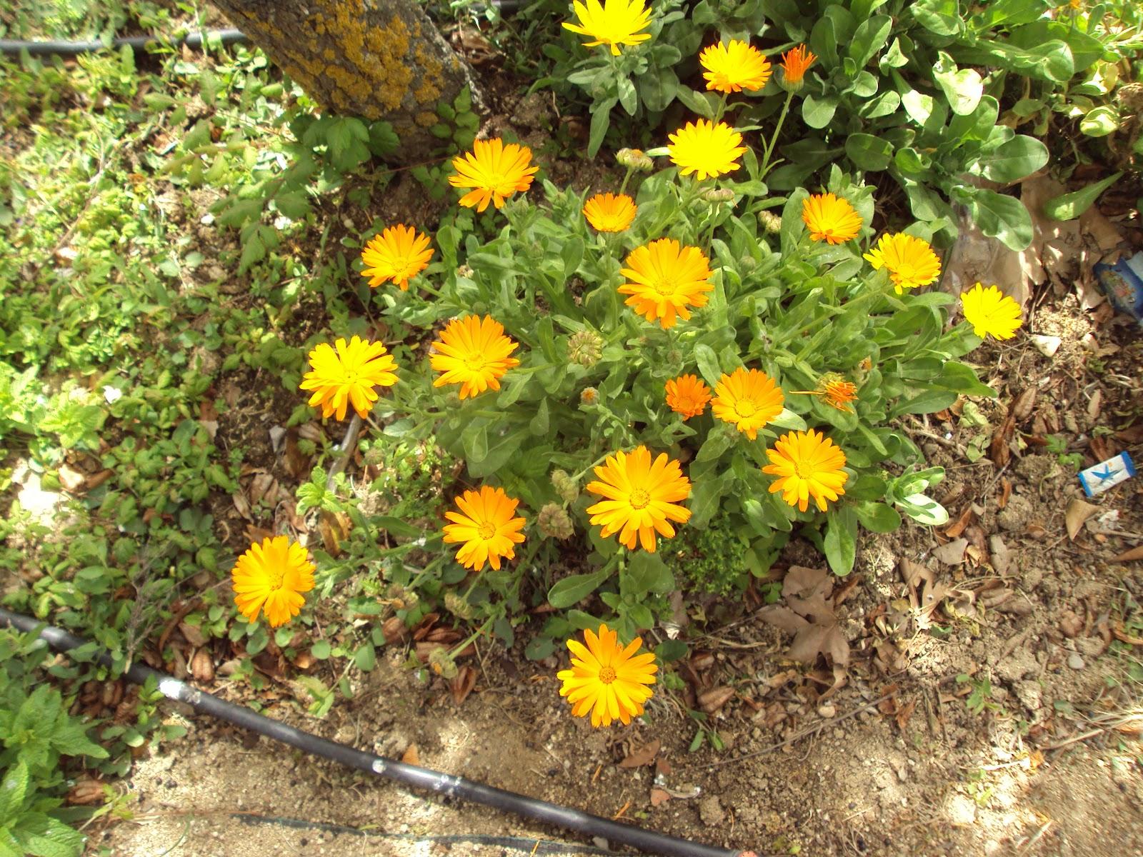 En torno al huerto planta medicinal - Plantas de huerto ...