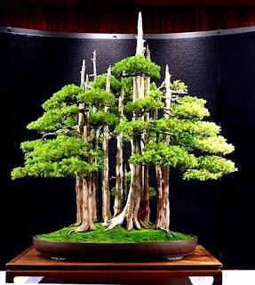 Bonsai tree price in India