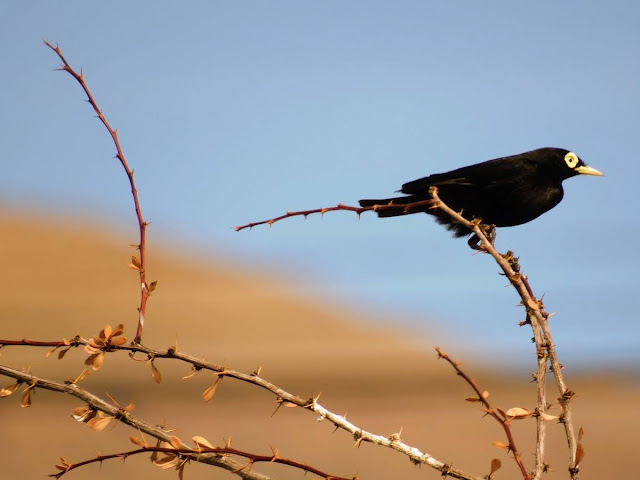 Birds of Patagonia: spectacled tyrant in El Calafate Argentina