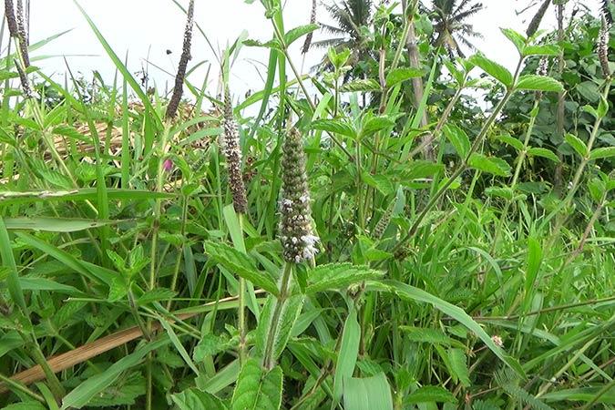 Dlium Songotan (Pogostemon auricularius)