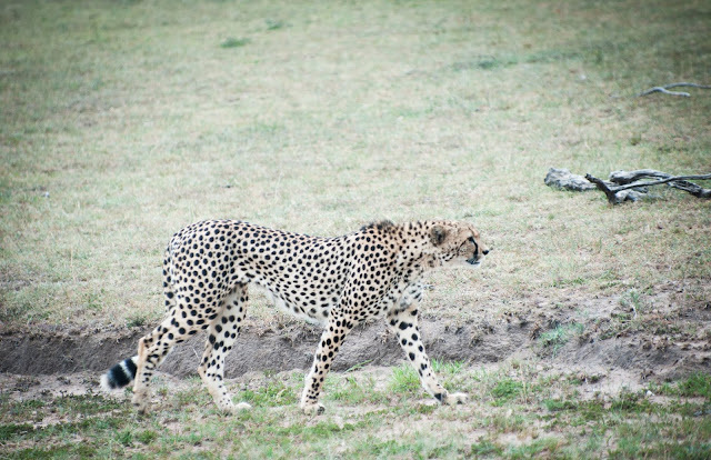 First cheetah; Masai Mara, Kenya