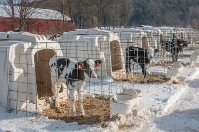feeding management of newborn calves