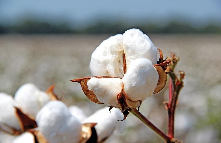 Π.Ε. Σερρών: Οδηγίες για την ανάσχεση υπερβολικής ανάπτυξης στο βαμβάκι