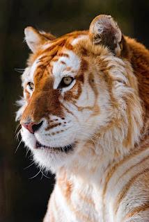 Tigre dorado 002