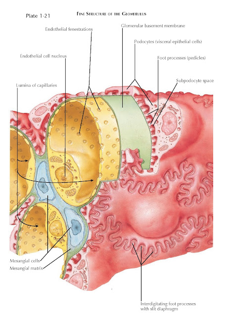 FINE STRUCTURE OF THE GLOMERULUS