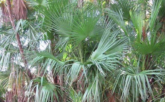 Acoelorrhaphe wrightii, palma de Florida, palmito de la sierra y guano prieto
