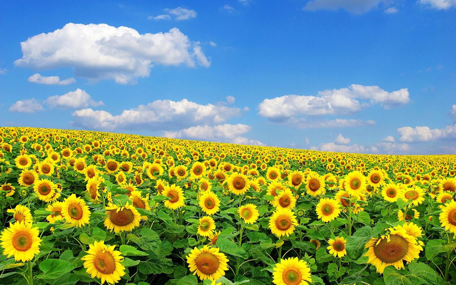 Zonnebloemen achtergronden hd wallpapers for Girasoli tumblr