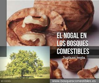 Nogal,Junglans regia, imagen árbol