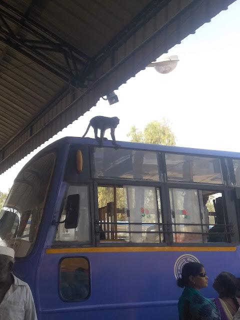 Indie, autobus, małpa