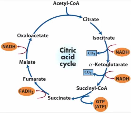Citric Acid Cycle Steps Diagram Online Schematic Diagram