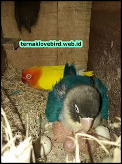 Kenapa lovebird tidak mau masuk glodok