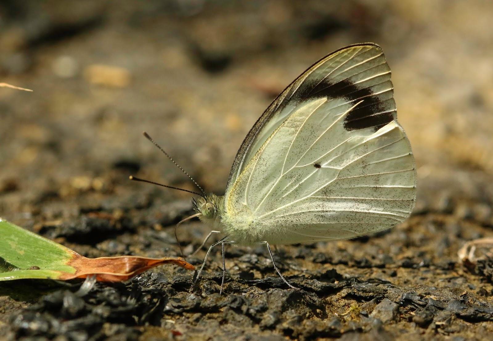Ixias pyrene hainana Butterfly Dome Yellow Orange Tip