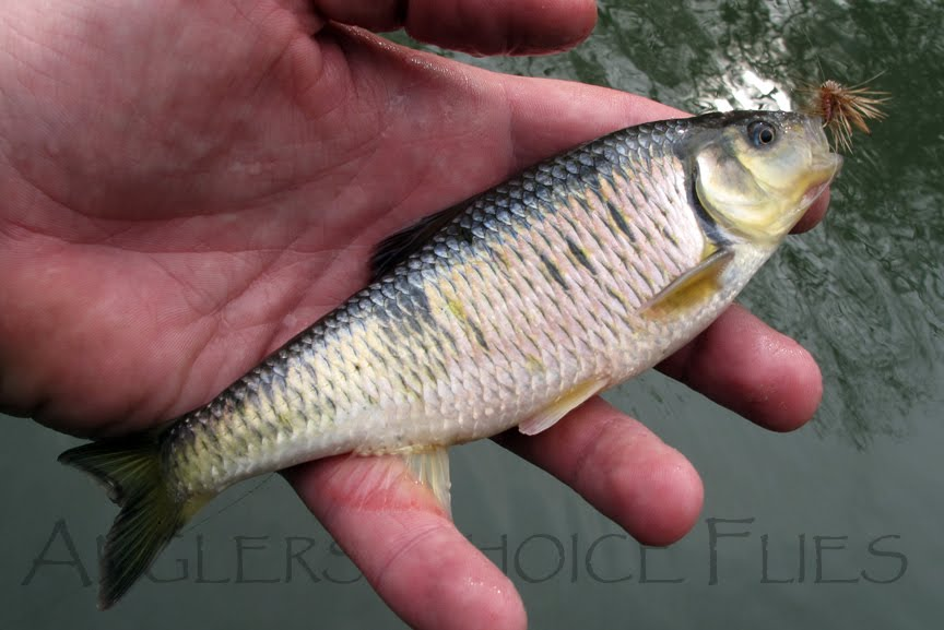 Anglers Choice Flies News Feed: Striped Shiner, and other ...