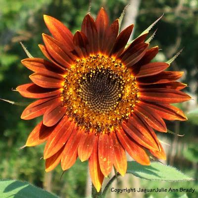 Pretty Warm Color Autumn Beauty Sunflower Blossom