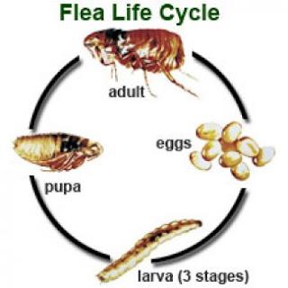ciclo de vida de la pulga