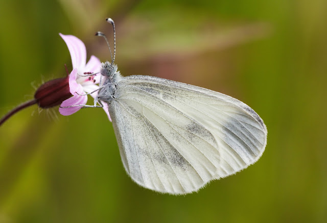 Wood White- Shropshire
