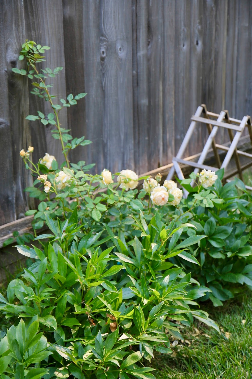 jenny steffens hobick our garden tour summer i ve put in some new climbing garden roses that i m hoping will take over this fence and perfume the entire yard