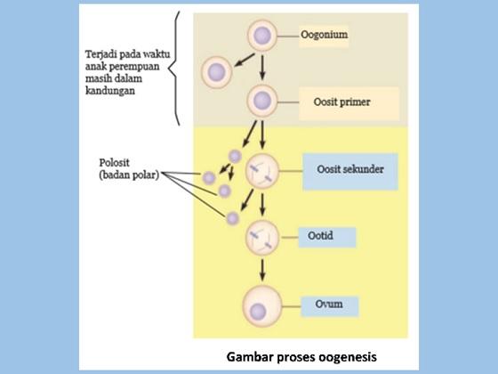 pembentukan sel telur atau oogenesis, oogonium, oosit primer, oosit sekunder, ootid, badan polar, ovum