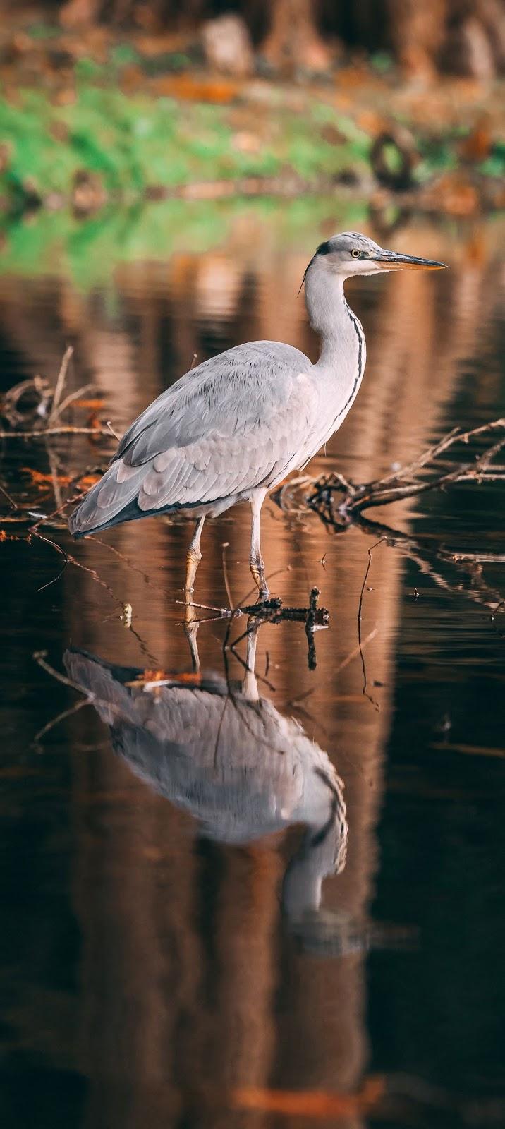 A wading heron.