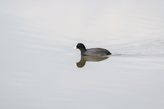 Common or Eurasian Coot