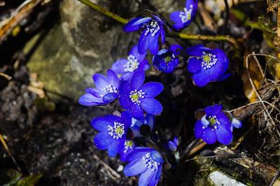 Blå Anemone Lat :Hepatica nobilis
