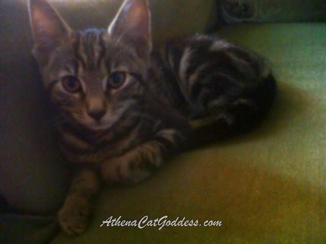 tabby kitten Athena