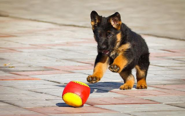 Duitse herder aan het spelen met een bal