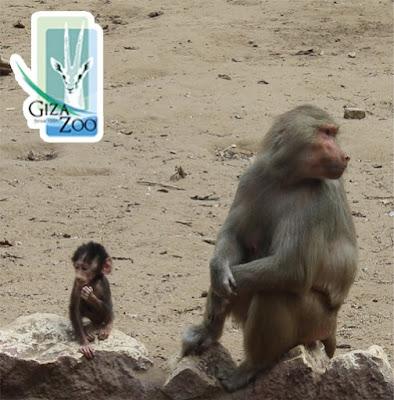 Baby Baboon with Mama baboon
