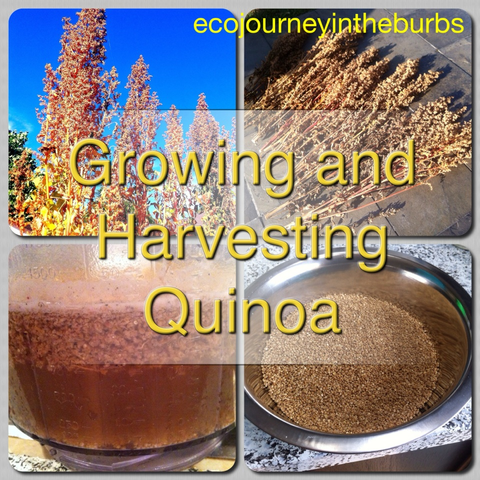 Eco Journey In The Burbs Diy Celery: Eco Journey In The Burbs: Growing And Harvesting Quinoa