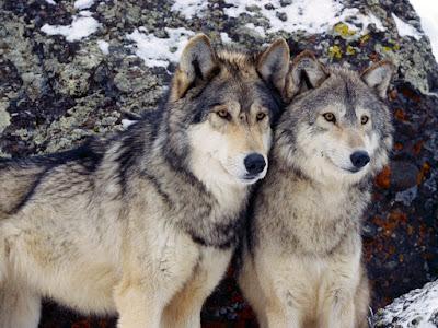 pereche de lupi
