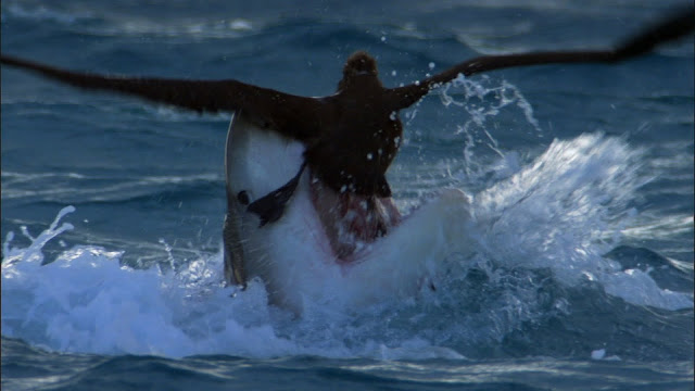 tiger shark eats bird