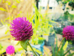 Manfaat dan khasiat bunga Kenop sebagai Obat