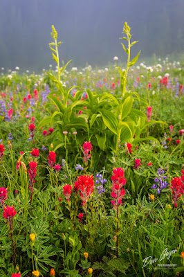 Flower meadows along the Naches Peak loop trail in Mount Rainier National Park, Cascade Range, Washington, USA.